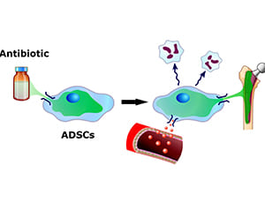 Our hypothesis that ADSCs could load antibiotics and exert an antimicrobial therapeutic effect in implant-related osteomyelitis secreting antimicrobial peptide.